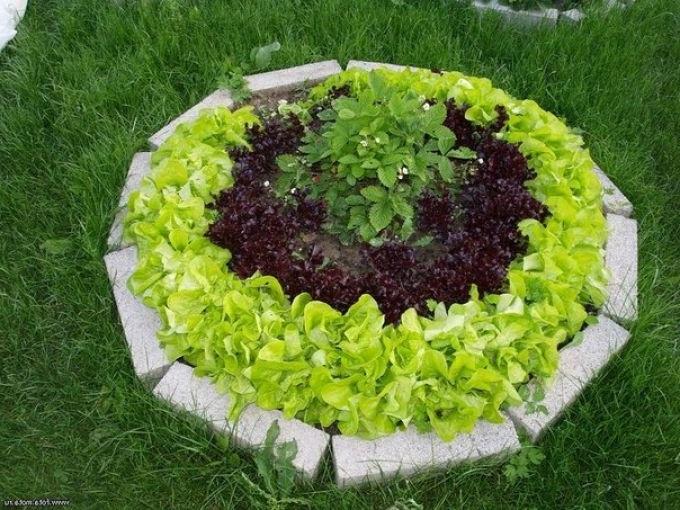 красивая грядка из салата с фото