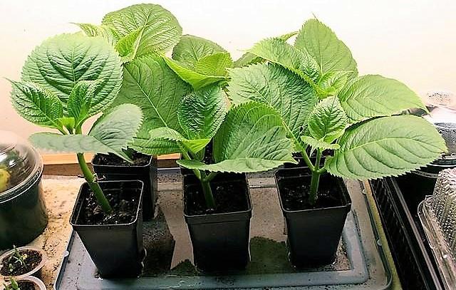 Выращивание гортензия из семян в домашних условиях