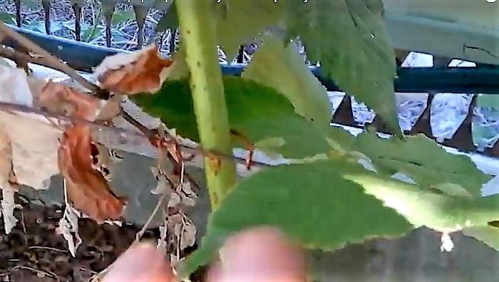 Малина. Посадка и уход (выращивание) в открытом грунте