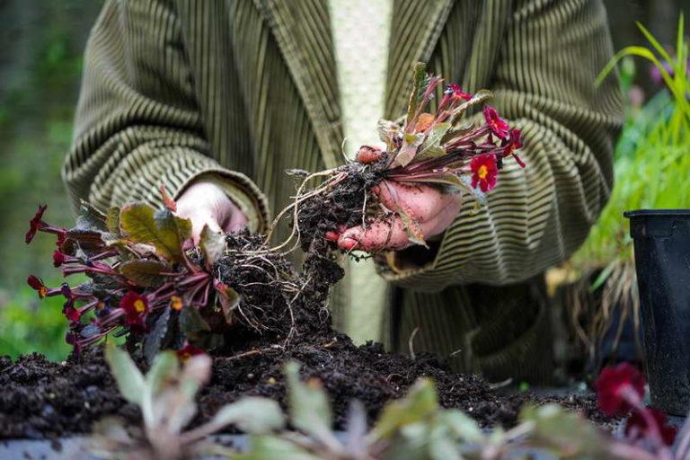 Примула многолетняя — посадка и уход в открытом грунте сада