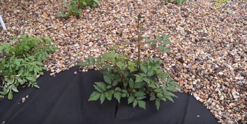 Посадка астильбы и уход (выращивание) в открытом грунте