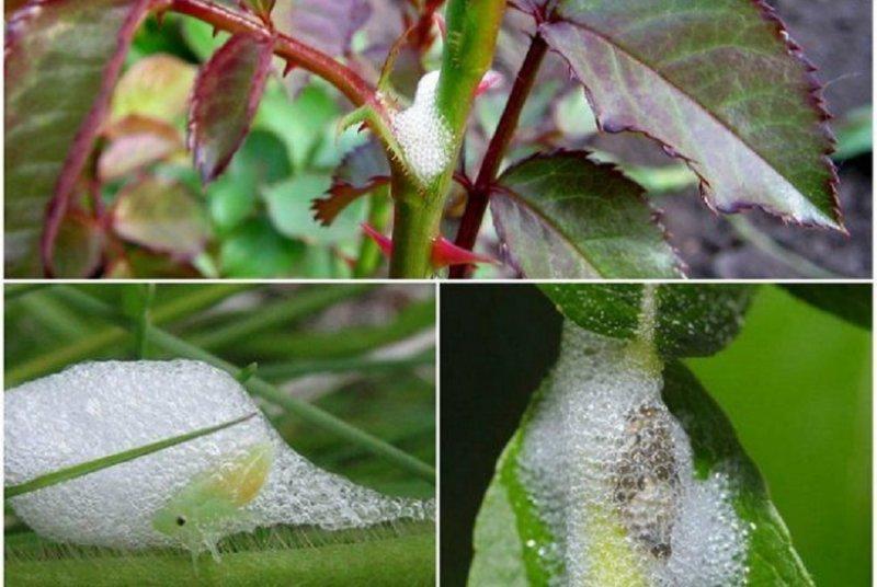 Болезни и вредители роз: описание, меры борьбы и способы защиты