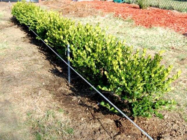 buxus-hedge-nz-i6