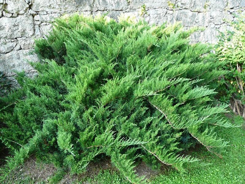 tamariscifolia-big