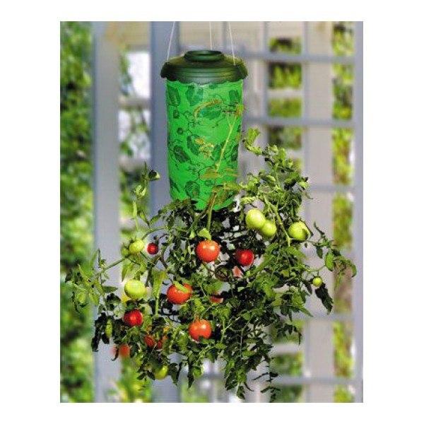 tomaty-vverkh-nogami