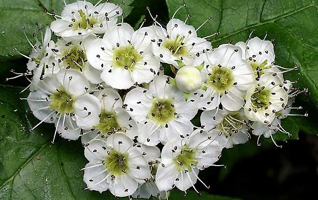 калина и ее цветки