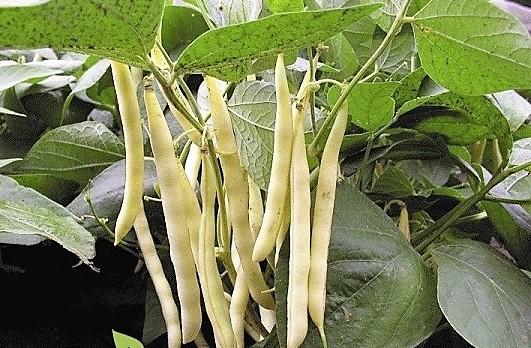 Фасоль используется для лечения поджелудочной железы