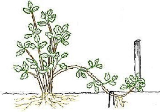 Размножение пиона отводками