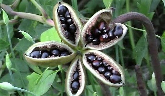 Размножение пиона древовидного семенами