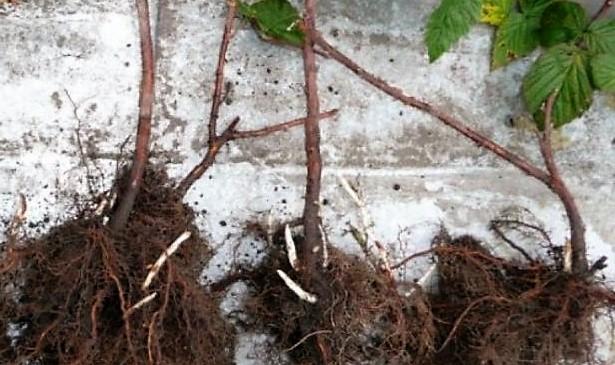 Ремонтантная малина выращивание и уход обрезка видео