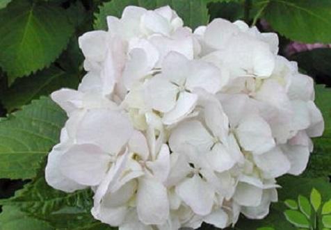 садовая гортензия белая