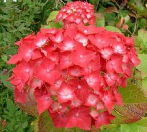 садовая гортензия красная