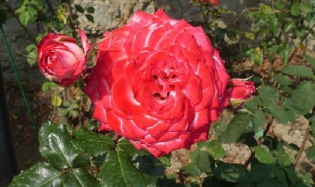 Как выглядит алая роза