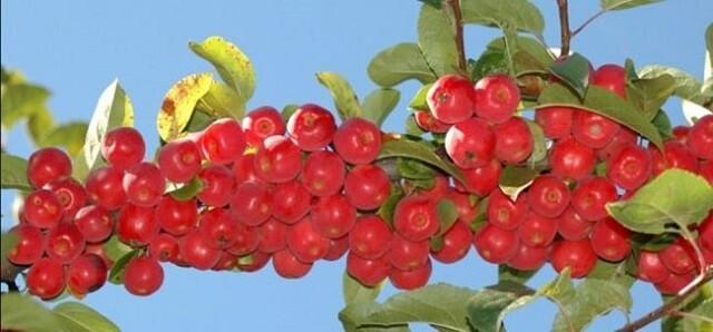 яблочки красные