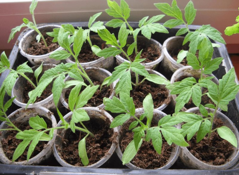 как посадить рассаду помидор
