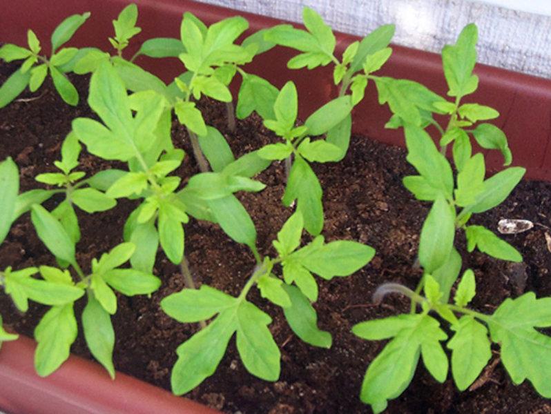 4 листочка рассады
