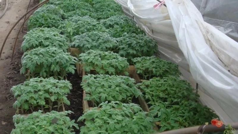 минитеплицы с рассадой помидор