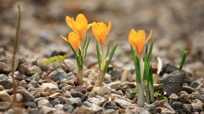 крокусы оранжевые
