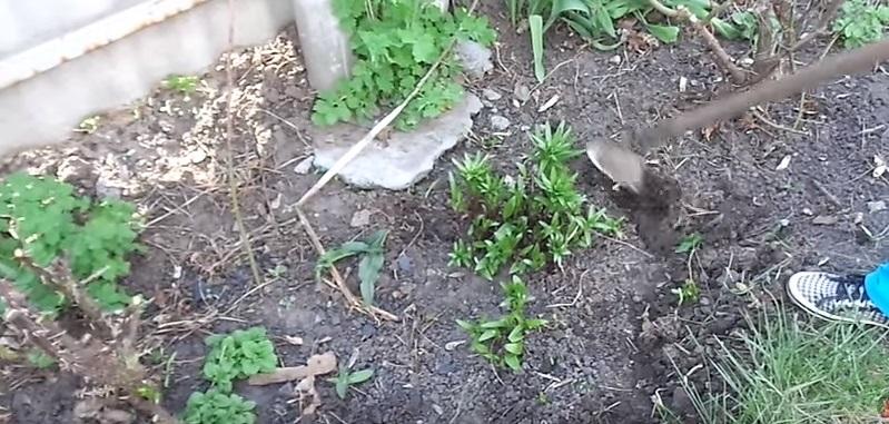 окучивание луковиц