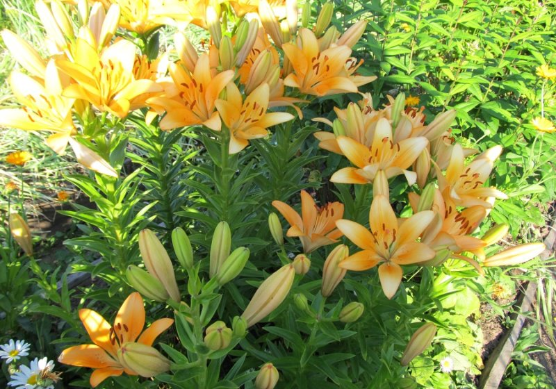 лилия на садовом участке