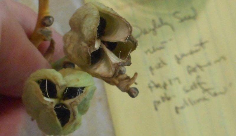 семена лилейника