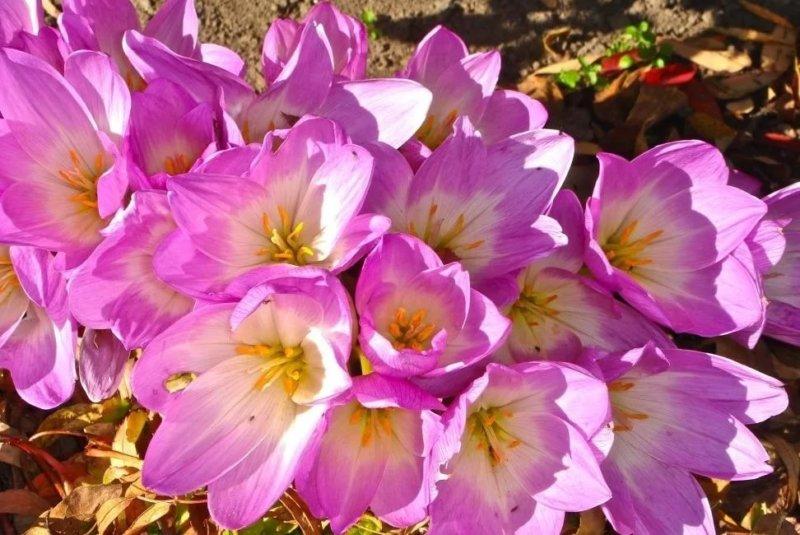 фиолетовый крокус