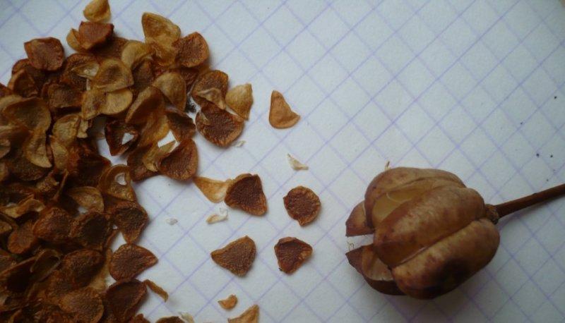 семена лилии треугольной формы