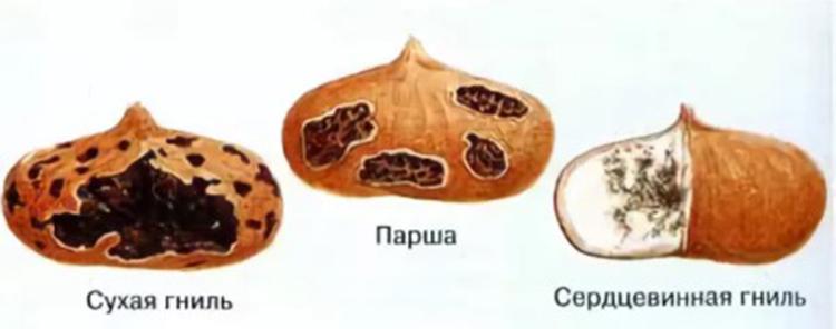 болезнь крокусов