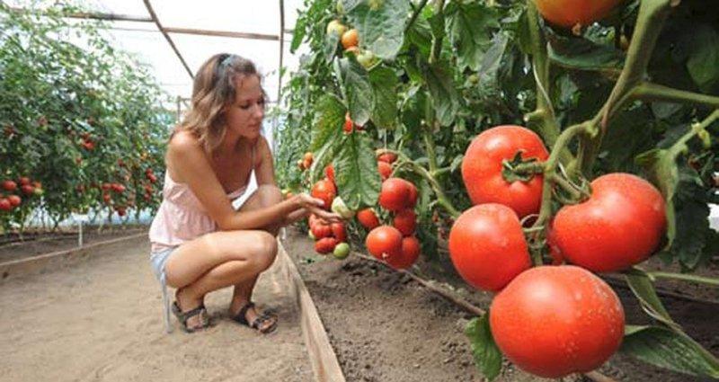 осмотр урожая помидоров