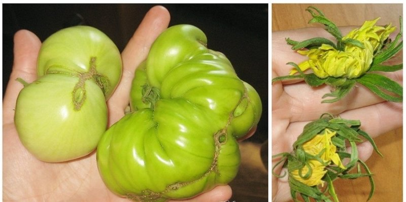 уродливые помидоры
