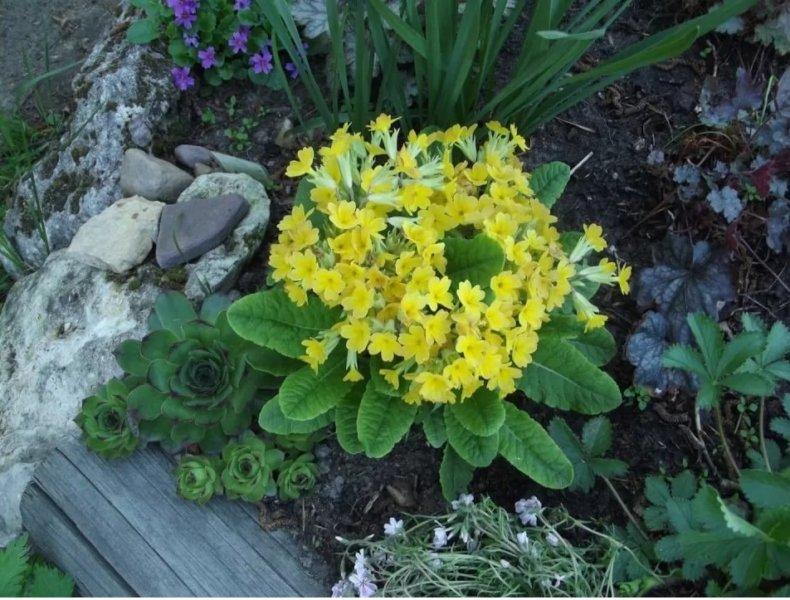 первоцвет в саду