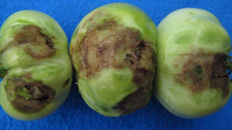 фитофтора на зеленых плодах томата