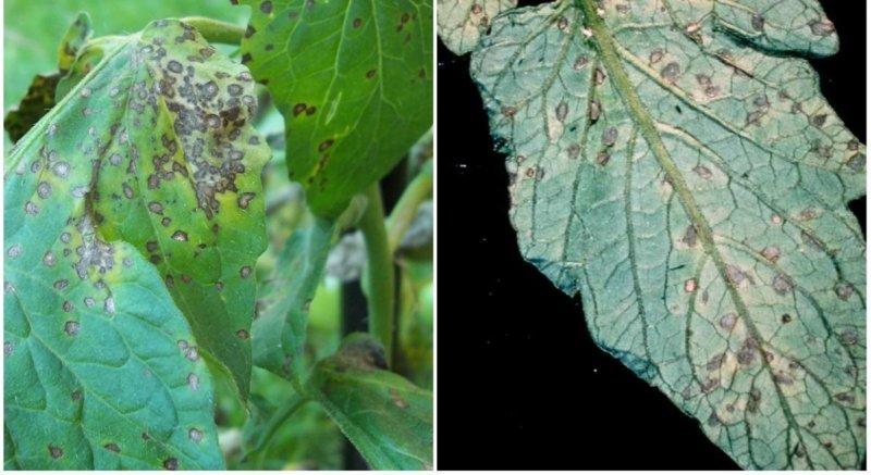 септориоз листьев - описание