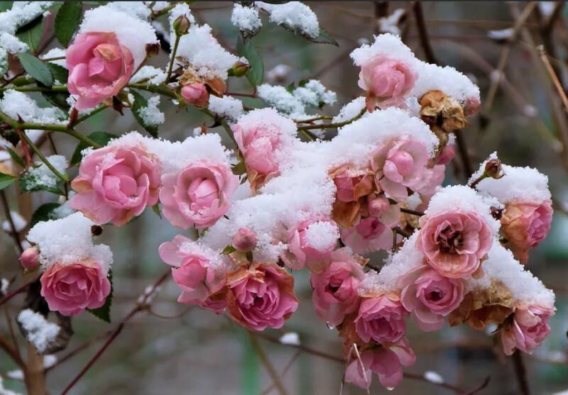 снег на розах