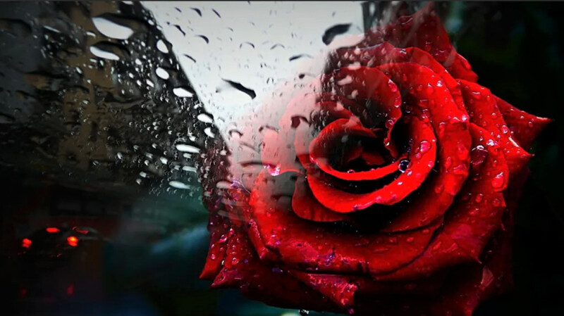 вредители для розы - ветры