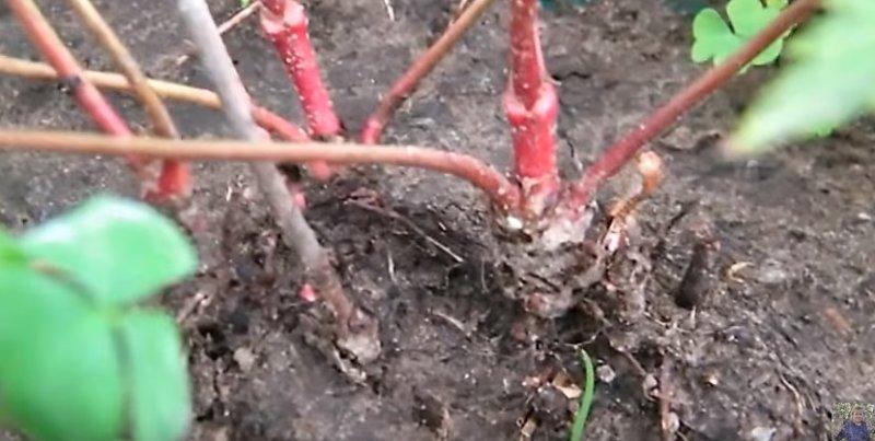 корни астильбы