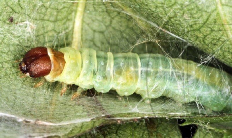 гусеницы листовертки