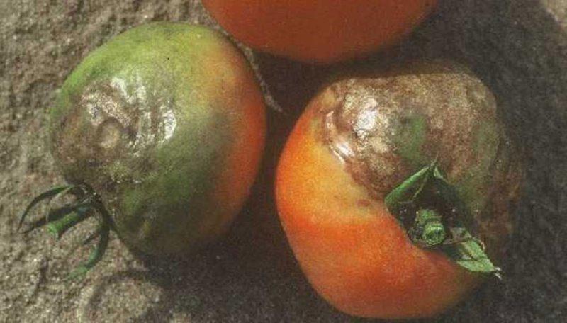 фитофтора на спелых томатах