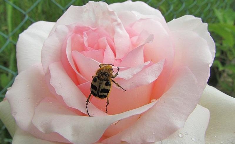 жук на розе