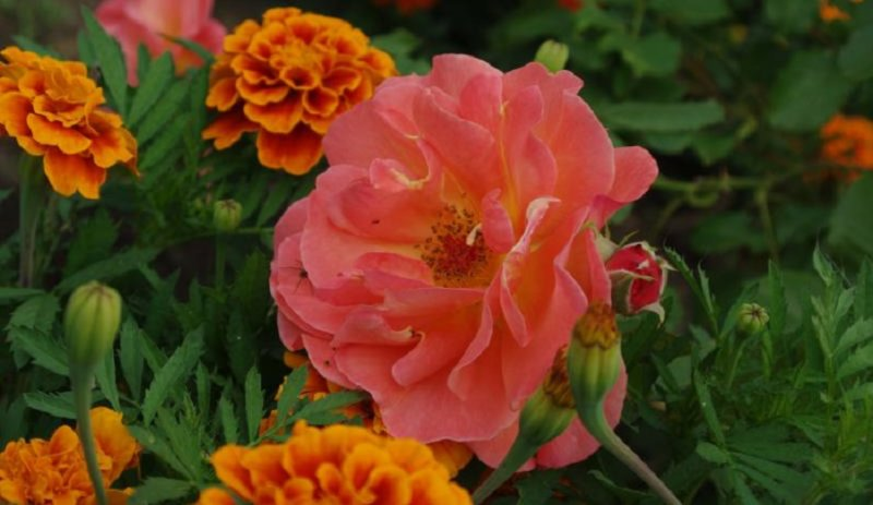 роза и бархатцы