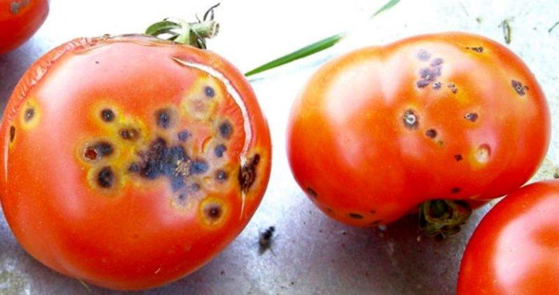 птичий глаз на томатах