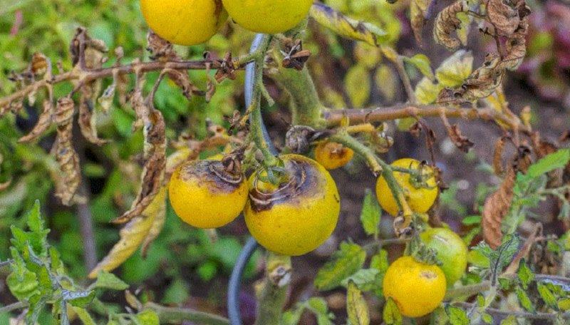 увядание растения томатов