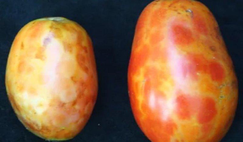 полосы и пятна на плодах томата