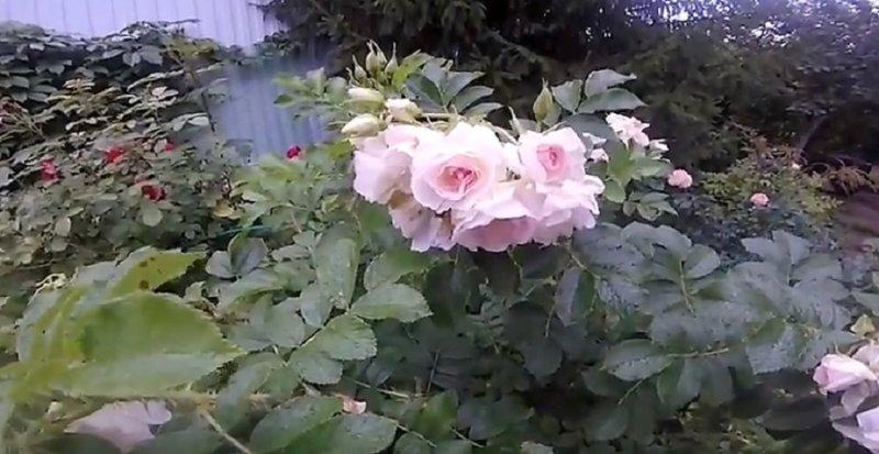 розы шиповника