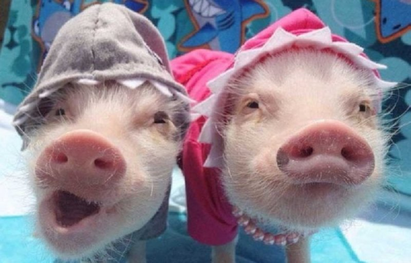 характеристики свиньи