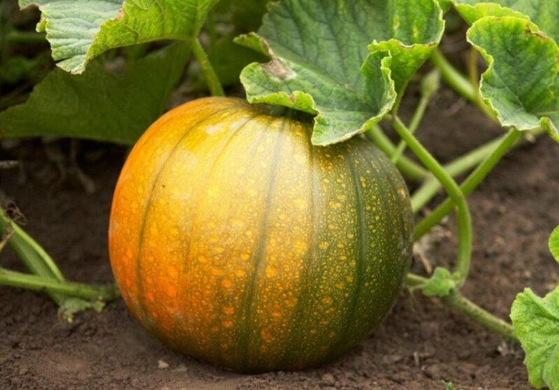 Как выращивать тыкву в открытом грунте правильно