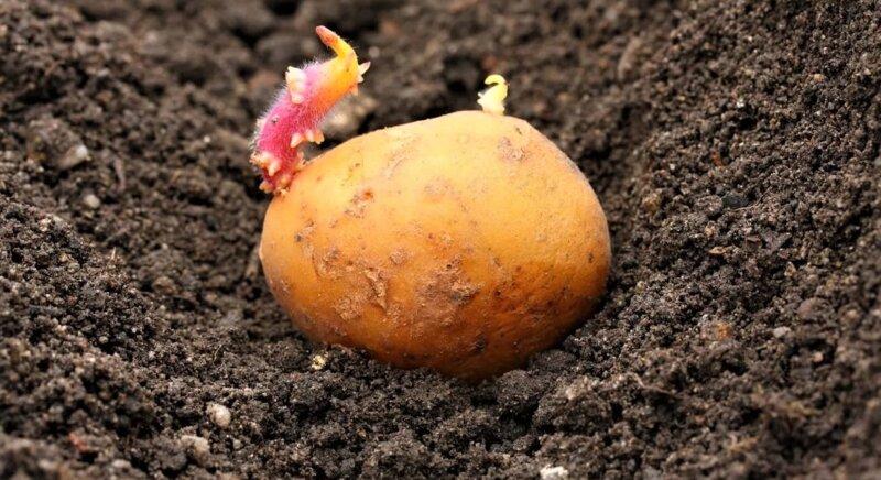 Посадка картофеля весной в открытый грунт с выращиванием и уходом на приусадебном участке