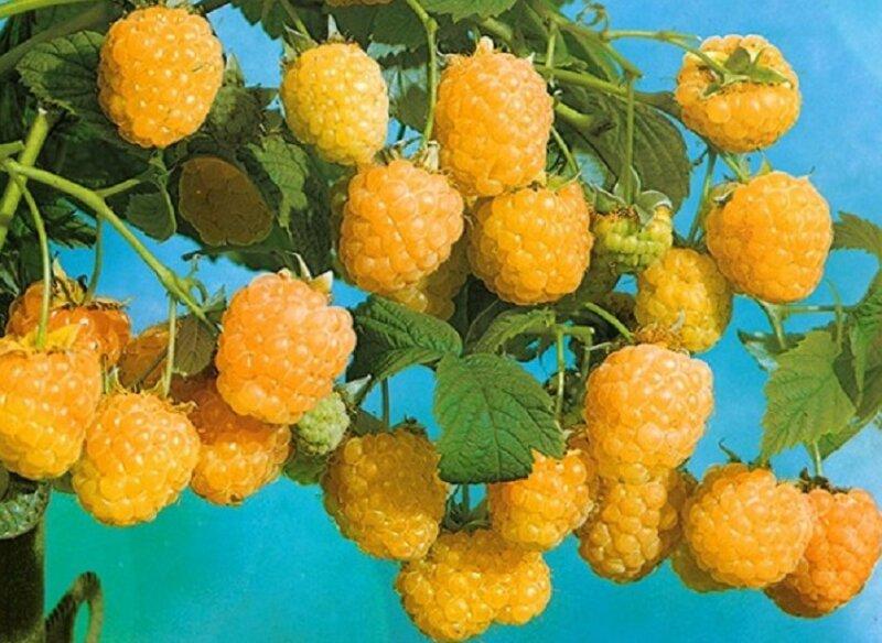 картинка малина желтая ягода конце