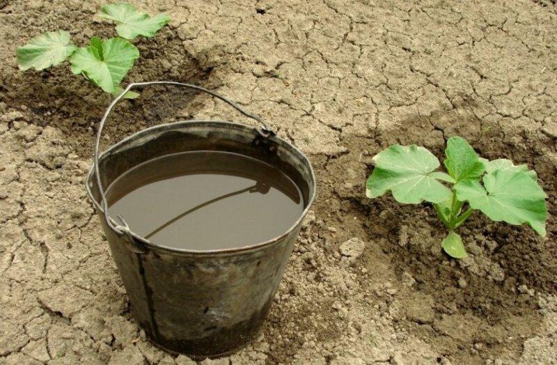 подкормка тыквы водой