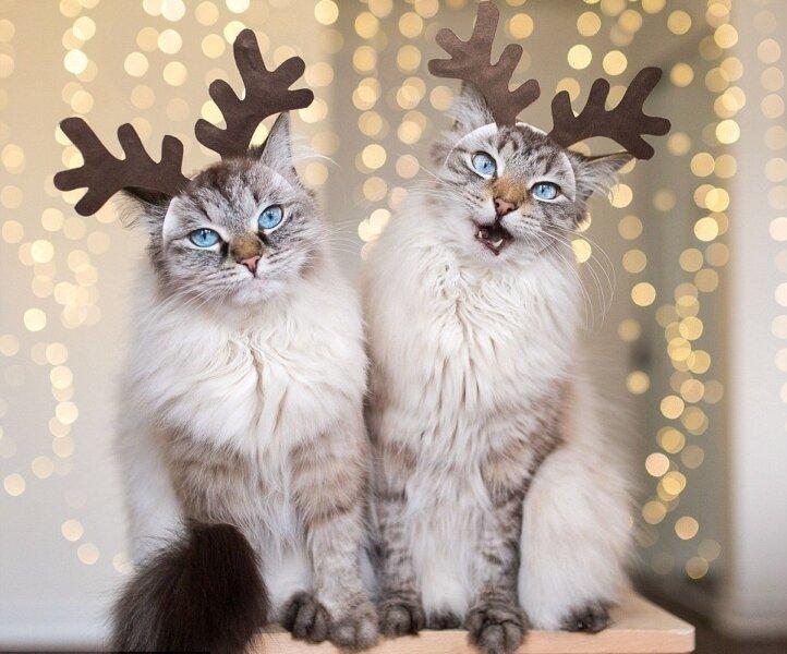 кошки с рогами оленей - новогодние картинки